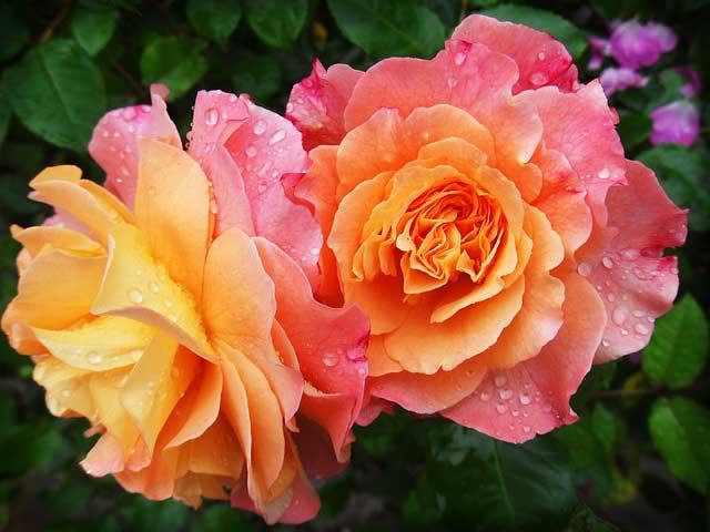 Rosenpflege – Rosen schneiden