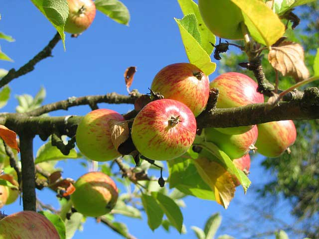 Apfelbäume schneiden