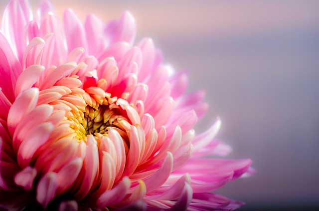 Chrysanthemen winterhart und spätblühend