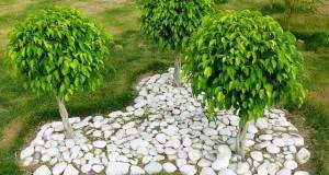 Ficus Benjamini verliert Blätter