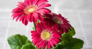 Gerbera Pflege für eine lange Blütezeit