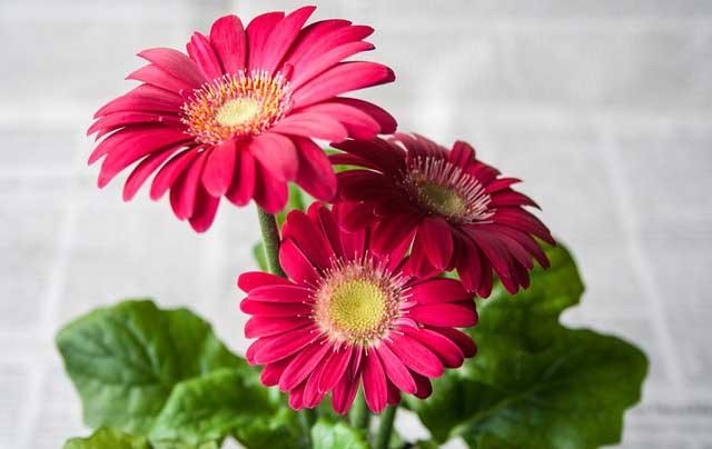 Gerbera pflege f r eine lange bl tezeit - Plantas de temporada primavera ...