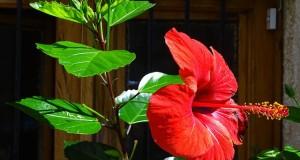 Hibiskus - Pflege, Schneiden, Vermehren und Überwintern
