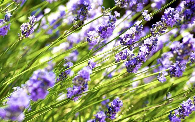 Lavendel schneiden - Anleitung für den Rückschnitt