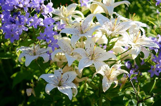 Lilien - Pflege der beliebten Zierpflanzen