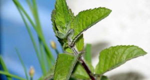 Pfefferminze als Heilpflanze