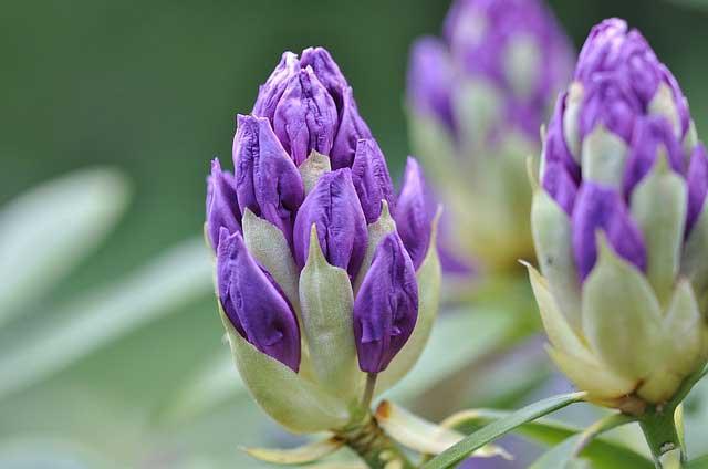Rhododendron – richtig pflanzen und pflegen