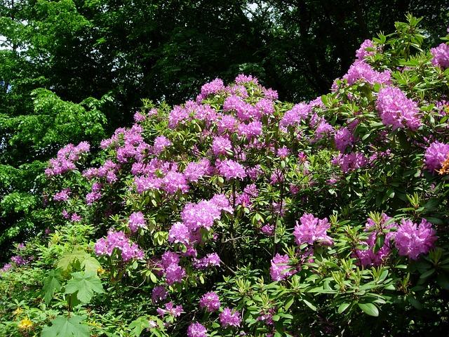 rhododendron schneiden anleitung zur pflege. Black Bedroom Furniture Sets. Home Design Ideas