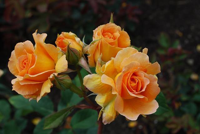 Was ist wichtig beim Rosen pflanzen?