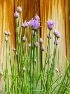 Schnittlauch anpflanzen und pflegen